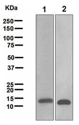 Western blot - Galectin 1 antibody [EPR3205] (ab108389)