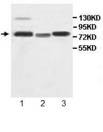 Western blot - AHRR antibody (ab108518)