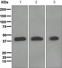 Western blot - Muscleblind-like 1 antibody [EPR4565] (ab108519)