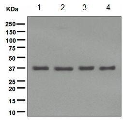 Western blot - Anti-Gemin 1 antibody [EPR4429] (ab108531)