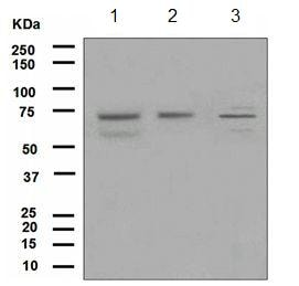 Western blot - KIF22 antibody [EP2748] (ab108535)