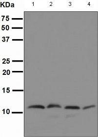 Western blot - Cpn10 antibody [EPR4476] (ab108600)
