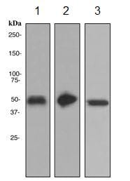 Western blot - GPA33 antibody [EPR4240] (ab108938)