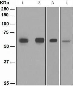 Western blot - SMAD 1 + SMAD9 antibody [EPR2290(2)] (ab108965)
