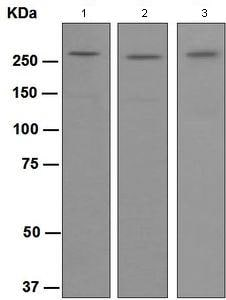 Western blot - Anti-Talin 2 antibody [EPR2536(2)] (ab108967)