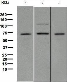 Western blot - TRF2 antibody [EPR3517(2)] (ab108997)