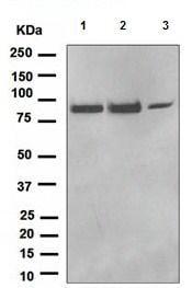 Western blot - TPOR antibody [EPR4194] (ab109003)