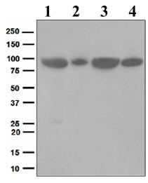 Western blot - Glucocorticoid Receptor antibody [EPR4595] (ab109022)