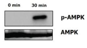 Functional Studies - CTRP5 protein (ab109041)