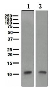 Western blot - Trefoil Factor 3  antibody [EPR3973] (ab109104)