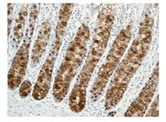 Immunohistochemistry (Formalin/PFA-fixed paraffin-embedded sections) - Trefoil Factor 3  antibody [EPR3973] (ab109104)