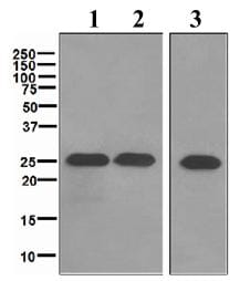 Western blot - SNAP25 antibody [EPR3275] (ab109105)
