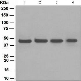 Western blot - FEN1 antibody [EPR4460(2)] (ab109132)