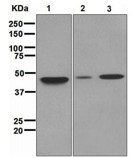 Western blot - Pbx3 antibody [EPR2833(2)] (ab109173)
