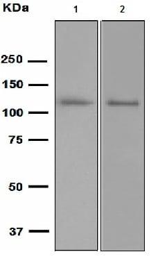 Western blot - Anti-PAM antibody [EPR2643(2)] (ab109175)