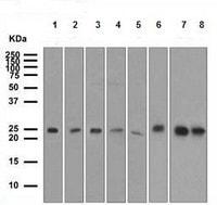 Western blot - TAPA1 antibody [EPR4244] (ab109201)