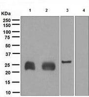 Western blot - Lambda Light chain antibody (ab109247)