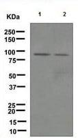 Western blot - Hsp90 alpha antibody [EPR3953] (ab109248)