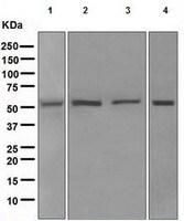 Western blot - PICK1 antibody [EPR4129(2)] (ab109249)