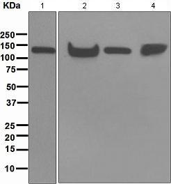 Western blot - KAP1 antibody [EPR5217] (ab109289)