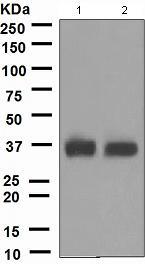 Western blot - CD7 antibody [EPR4242] (ab109296)