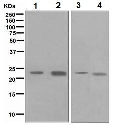 Western blot - HE4 antibody [EPR4743] (ab109298)