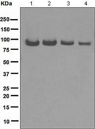 Western blot - Topoisomerase I antibody [EPR5375] (ab109374)