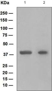 Western blot - HOXB5 antibody [EP2827] (ab109375)