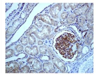Immunohistochemistry (Formalin/PFA-fixed paraffin-embedded sections) - Epac1 antibody [EPR1672] (ab109415)
