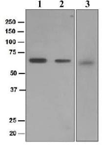 Western blot - USP22 antibody [EPR4352(2)] (ab109435)