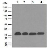 Western blot - Proteasome 20S alpha 5 antibody [EPR5833] (ab109533)