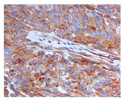 Immunohistochemistry (Formalin/PFA-fixed paraffin-embedded sections) - Anti-Jagged1 antibody [EPR4290] (ab109536)