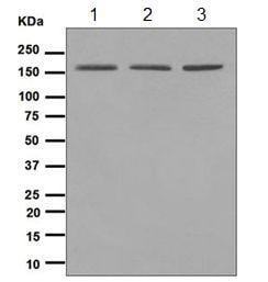 Western blot - WAPL antibody [EPR3407(2)] (ab109537)
