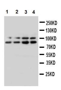 Western blot - Synaptopodin antibody (ab109560)