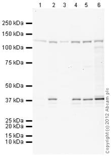 Western blot - Anti-HIF-2-alpha antibody (ab109616)