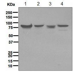 Western blot - Mre11 antibody [EPR3471] (ab109623)