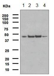 Western blot - FNTA antibody [EPR4704] (ab109738)