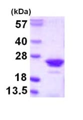 SDS-PAGE - RGS10 protein (ab109947)