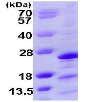 SDS-PAGE - Mimitin protein (ab109967)