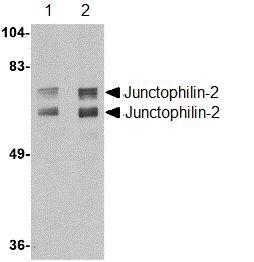 Western blot - Junctophilin-2 antibody (ab110056)
