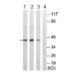 Western blot - MRPS35 antibody (ab110068)
