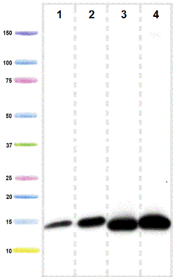 Western blot - Anti-NDUFB6 antibody (ab110244)