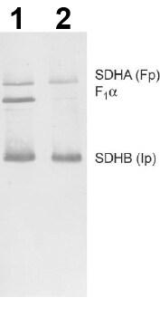Western blot - Complex II WB Antibody Cocktail (ab110410)