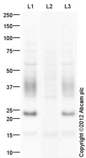Western blot - Anti-Aquaporin 2 (phospho S261) antibody (ab110418)