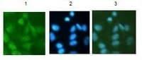 Immunocytochemistry/ Immunofluorescence - Histone H3 (di methyl K27) antibody (ab110472)