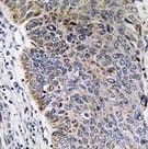 Immunohistochemistry (Formalin/PFA-fixed paraffin-embedded sections) - MGST3 antibody (ab111151)