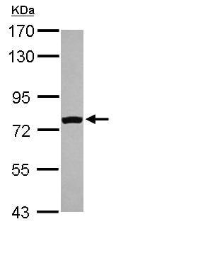 Western blot - FASTKD5 antibody (ab111548)