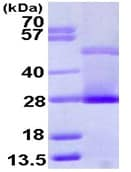 SDS-PAGE - C Reactive Protein (ab111647)
