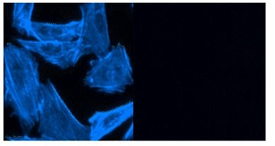 CytoPainter F-actin Labeling Kit - Blue Fluorescence (ab112124)