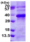 SDS-PAGE - Regucalcin protein (ab113154)